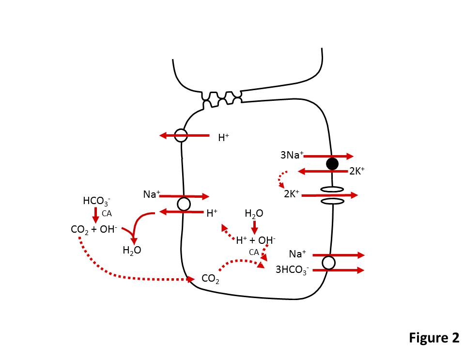 Acid/Base Disorders: Metabolic Alkalosis - Renal and Urology
