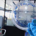 E coli in petri dish