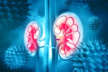 kidney illustration