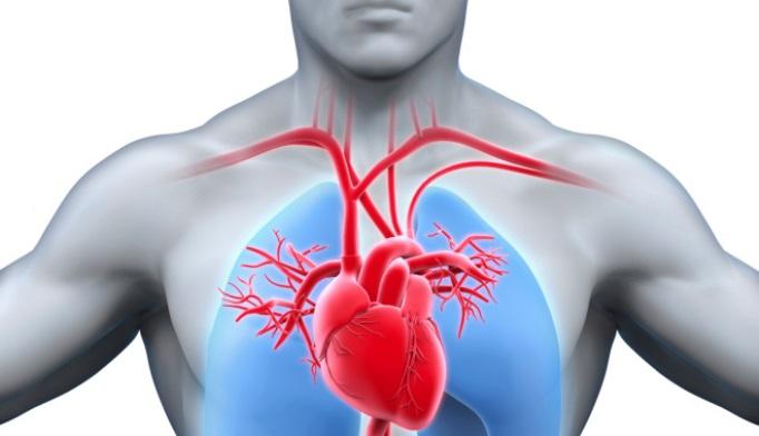 heart-lungs