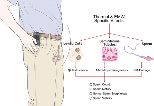 Possible effects of cell-phone radiation on testes, spermatogenesis and the ejaculated spermatozoa.