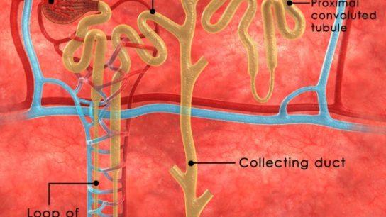 Elderly LVH Patients Experience Rapid Kidney Function Decline