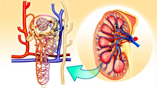 Kidney and nephron