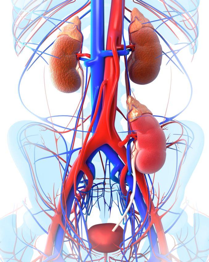 Transplanted kidney