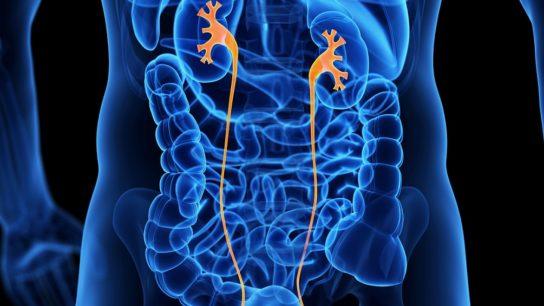 Male ureters illustration
