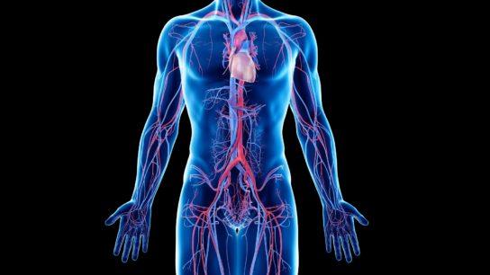 Vascular system, illustration